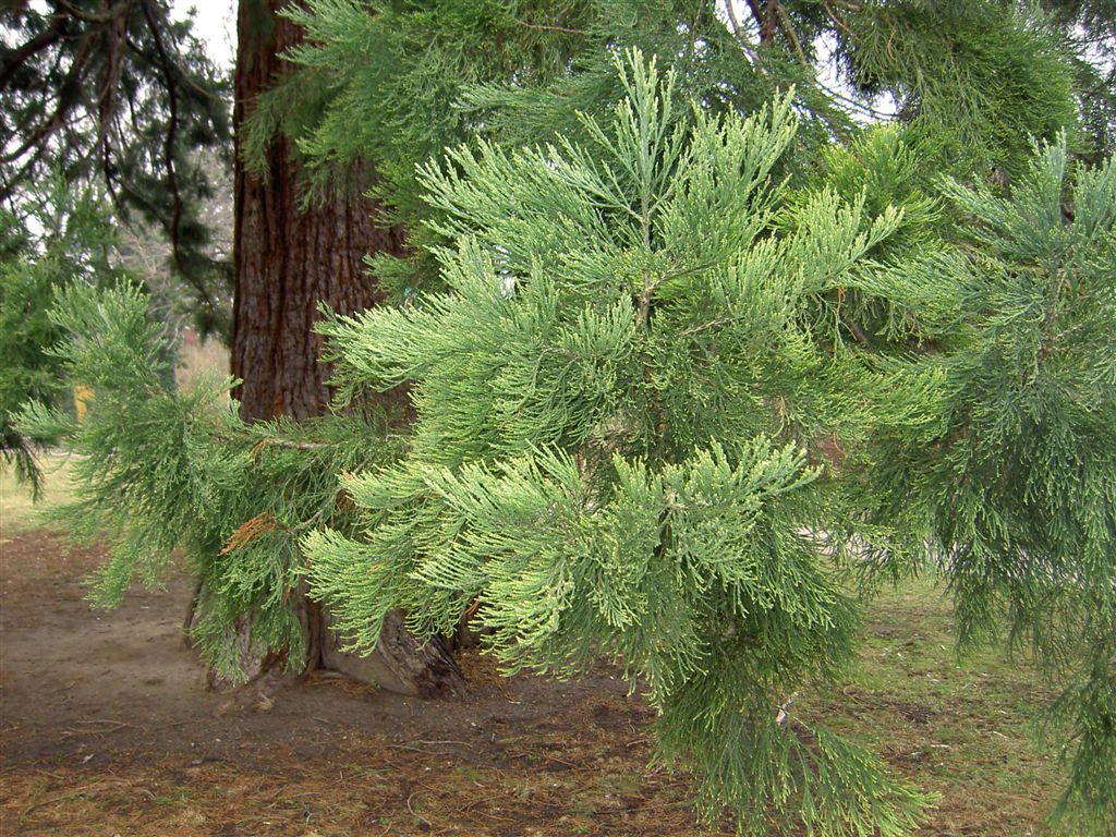 sequoiadendron giganteum samen