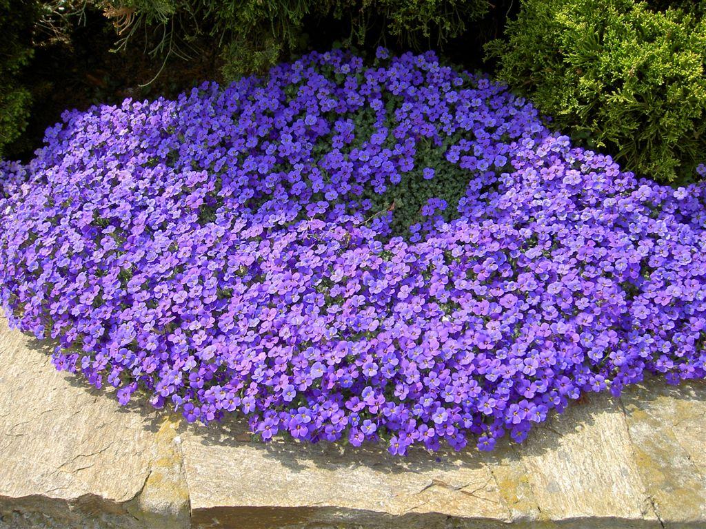 botanische-spaziergaenge.at • Thema anzeigen - Aubrieta deltoidea / Griechisc...