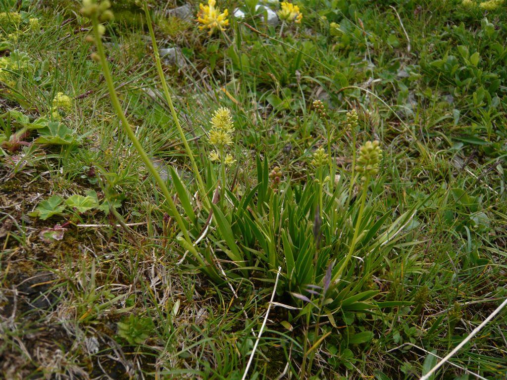 gras mit kolbenförmigen blütenstand