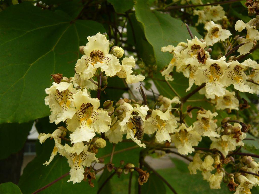 Znalezione obrazy dla zapytania Catalpa ovata flowers